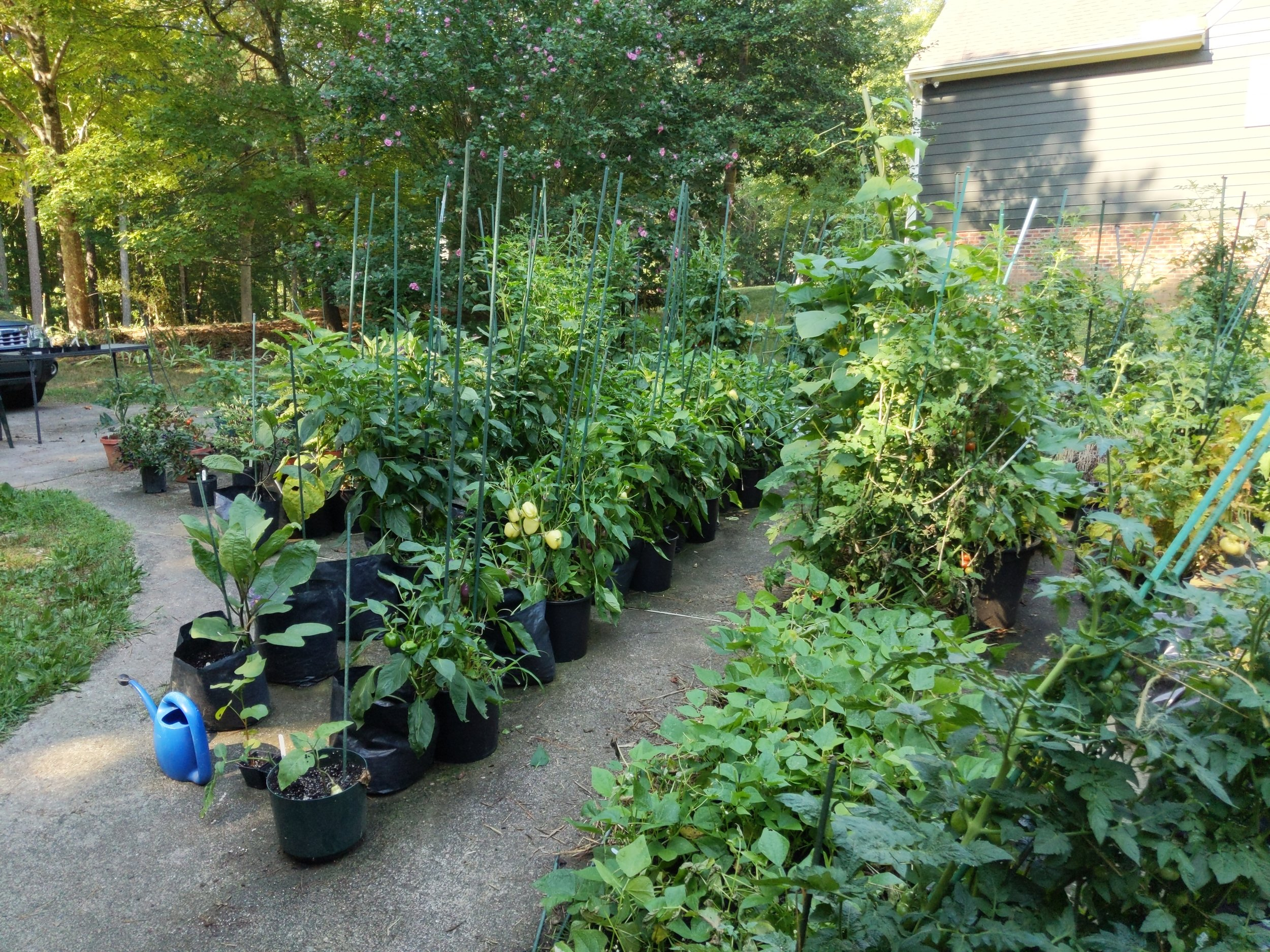 View of the pepper/eggplant/bean section of the garden on July 15. The visibility of the bell peppers is due to deer browsing of the plant tops.