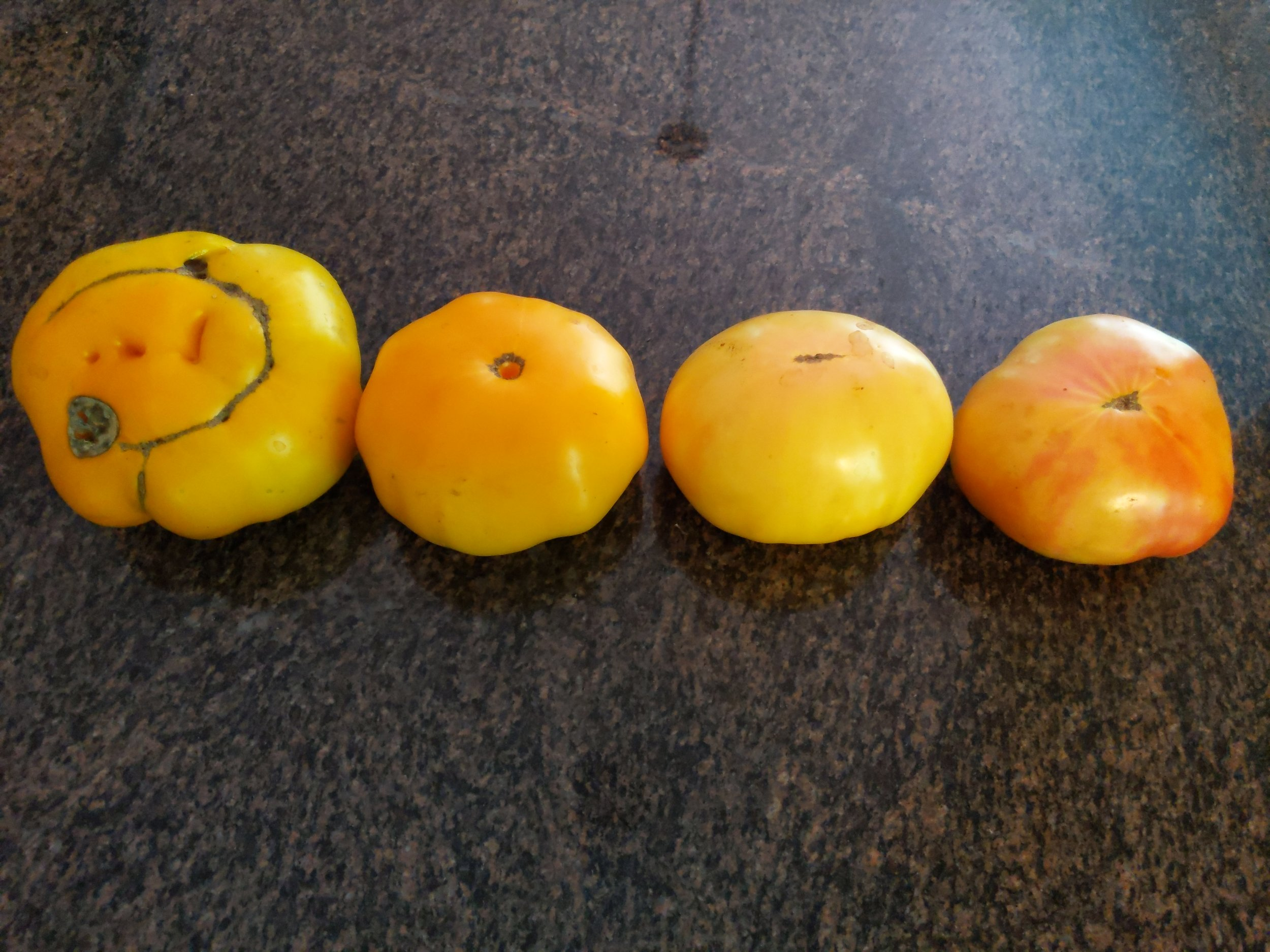Yellow Brandywine, KBX, Casey's Pure Yellow and Lucky Cross, showing very subtle color differences
