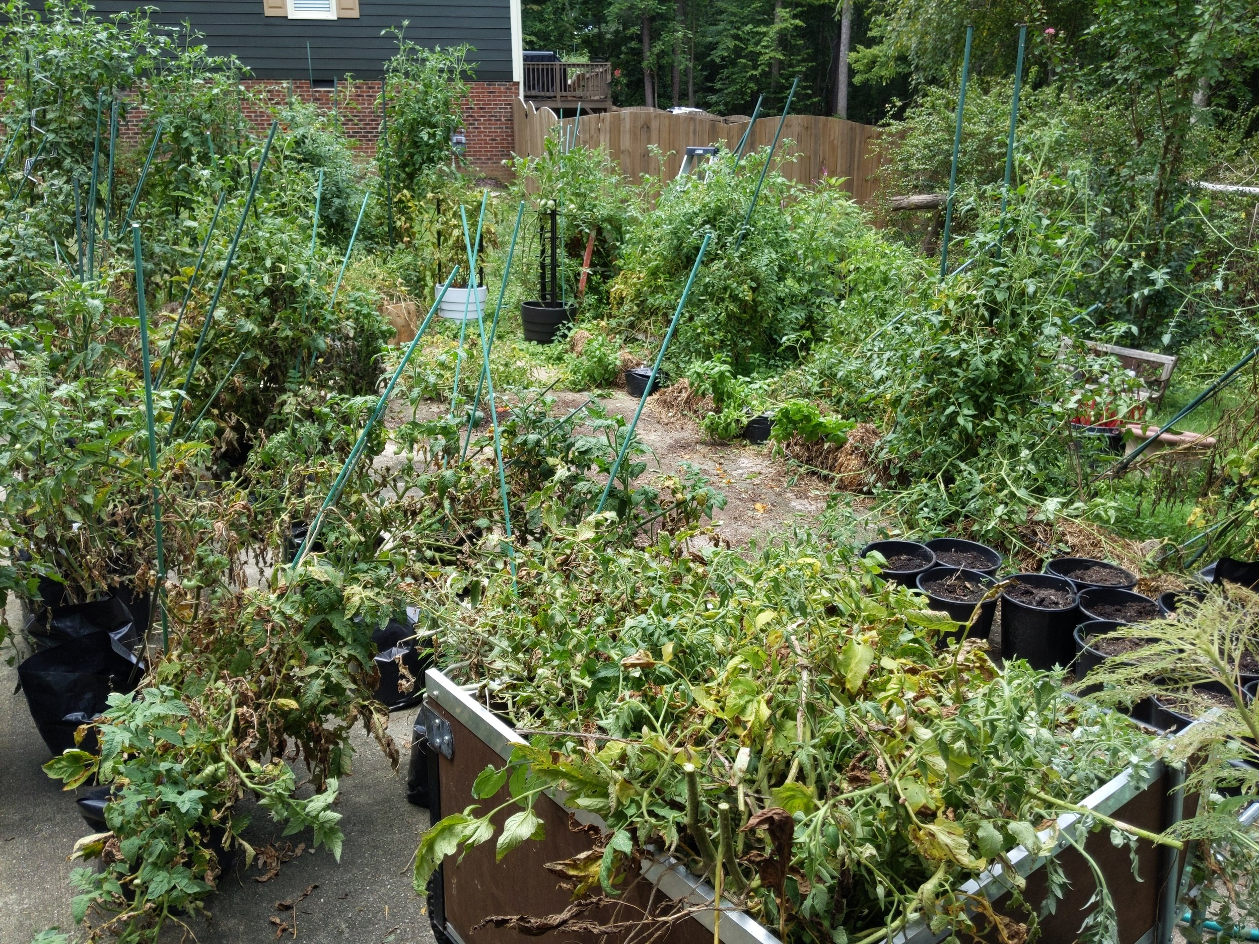 Major garden reorganization happening in early August - bye to the small grow bag indeterminates, severe pruning time for the dwarfs. Harvesting and regular watering and feeding continue.