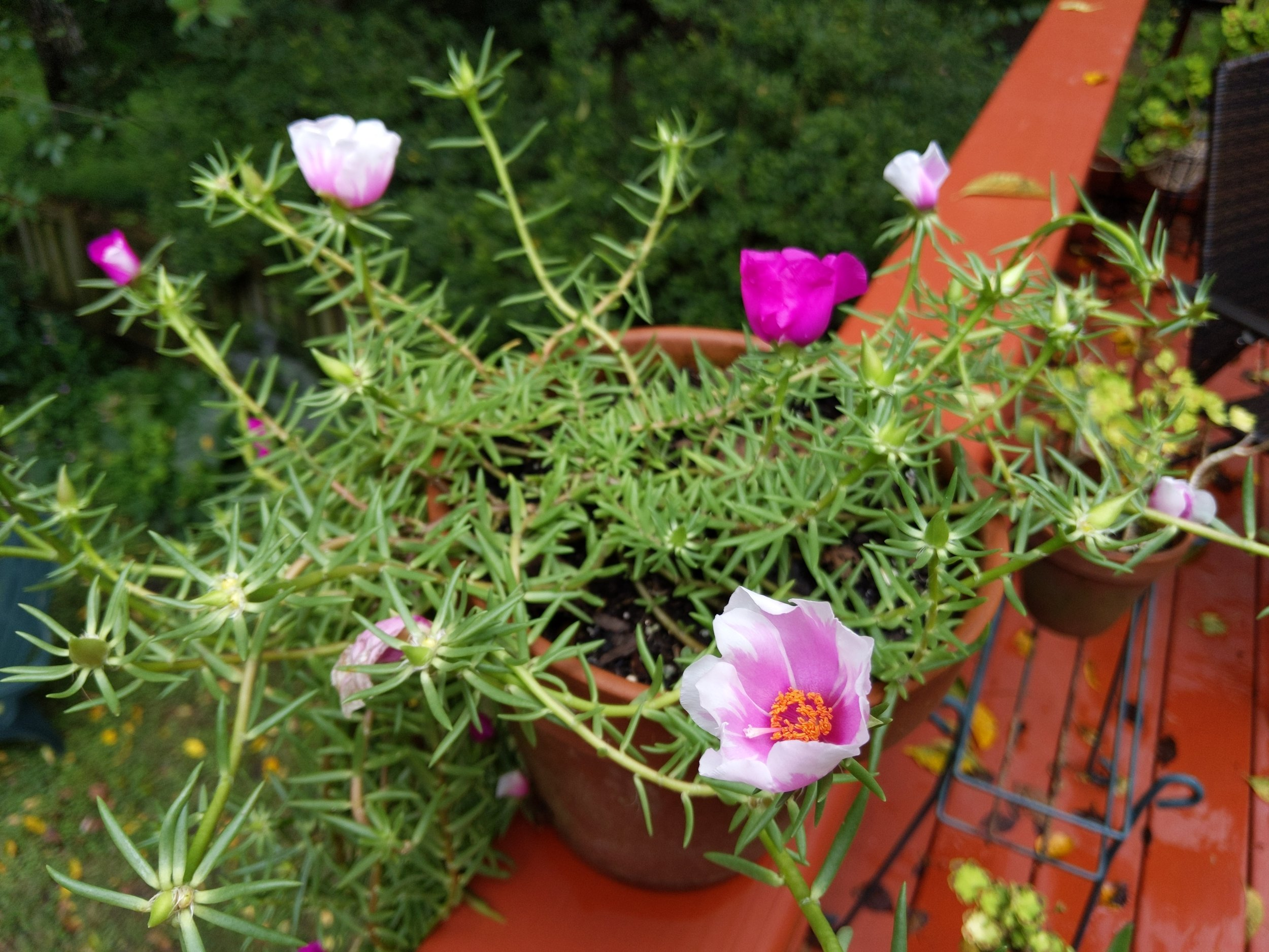 Unusual portulaca from my friend Ralph - both colors show up on the same plant.