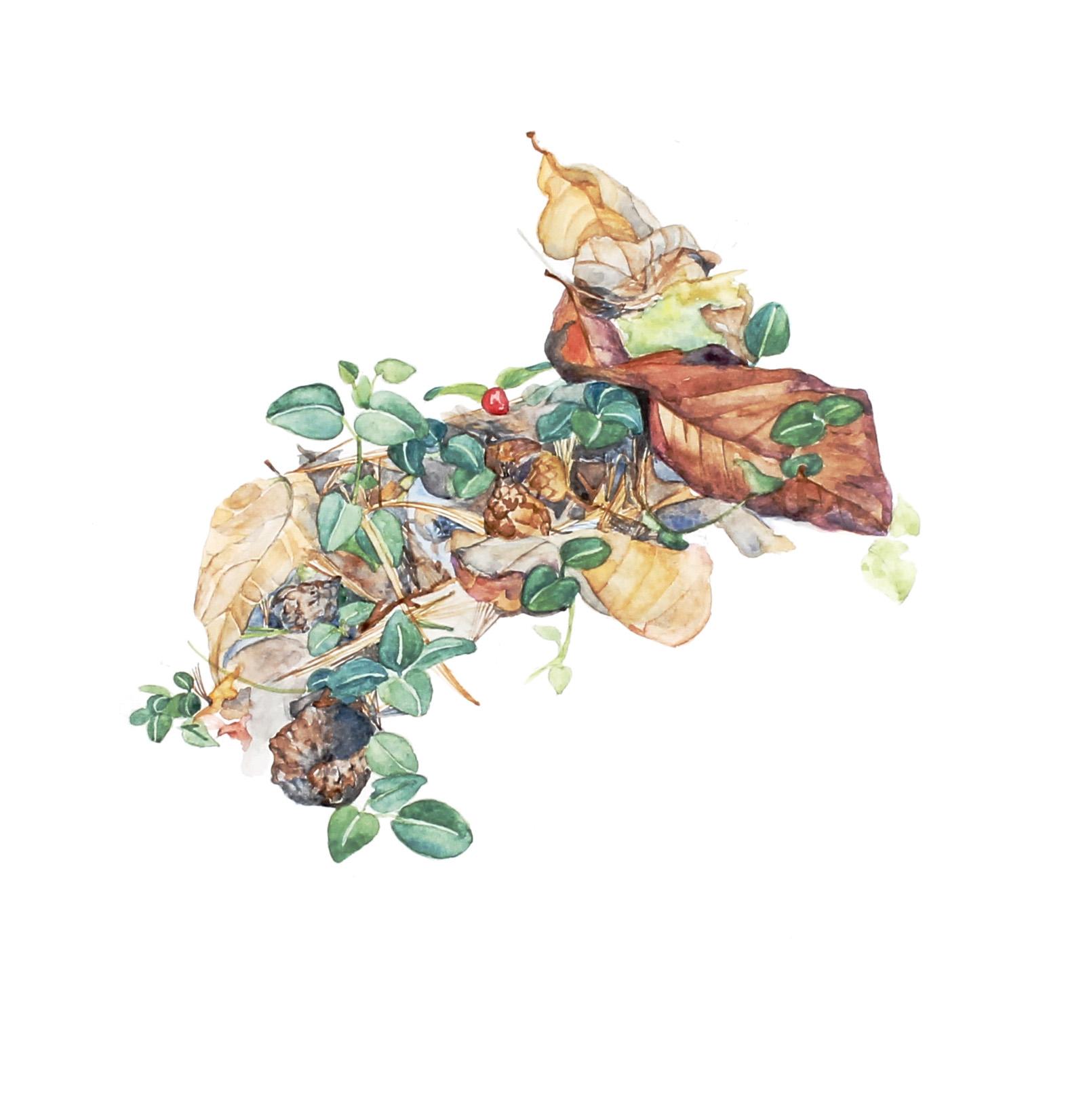 Mitchella ripens  | Partridgeberry