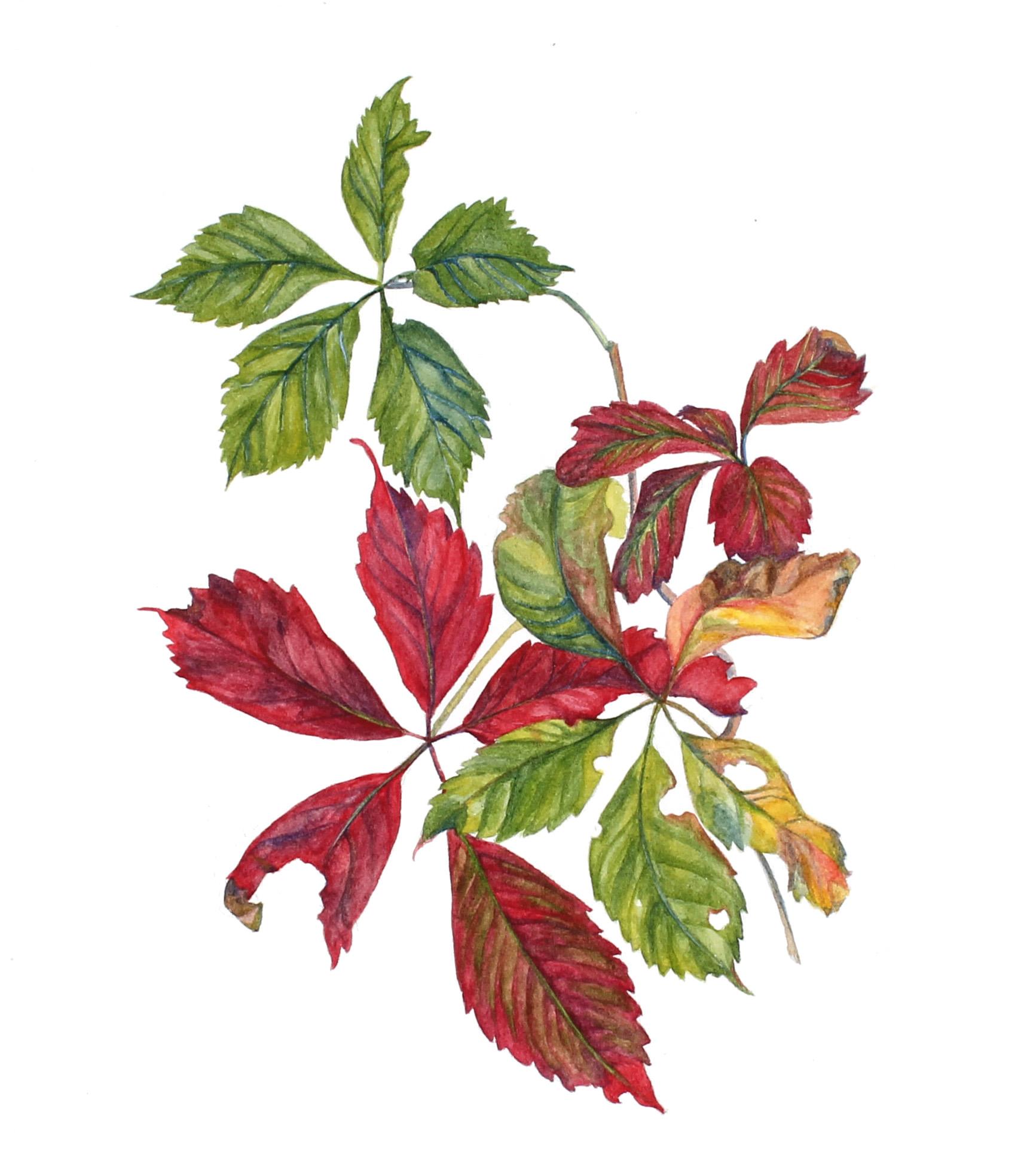 Parthenocisus quinquefolia    Virginia Creeper