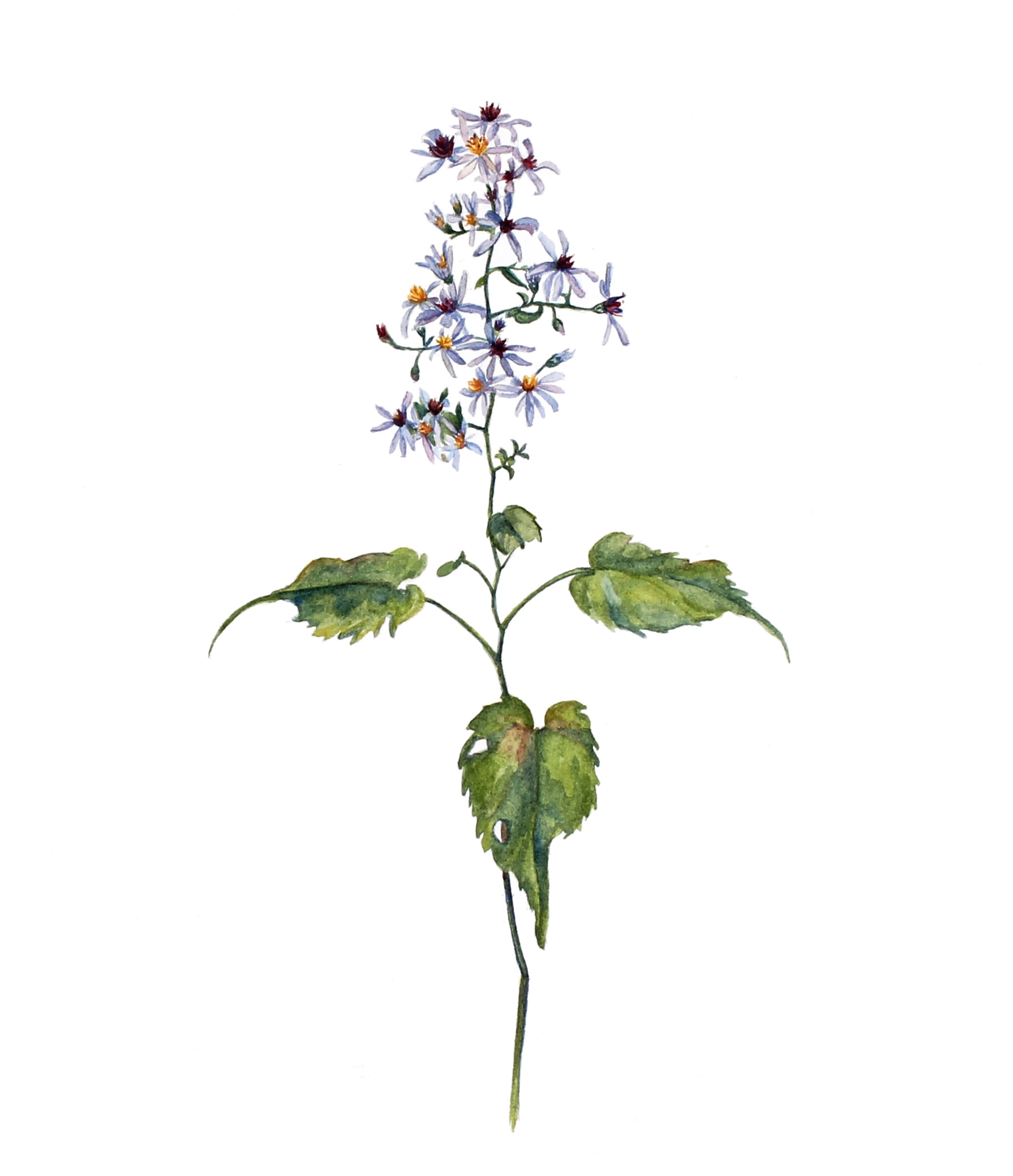 Symphyotricum cordifolium  | Common Blue Wood Aster