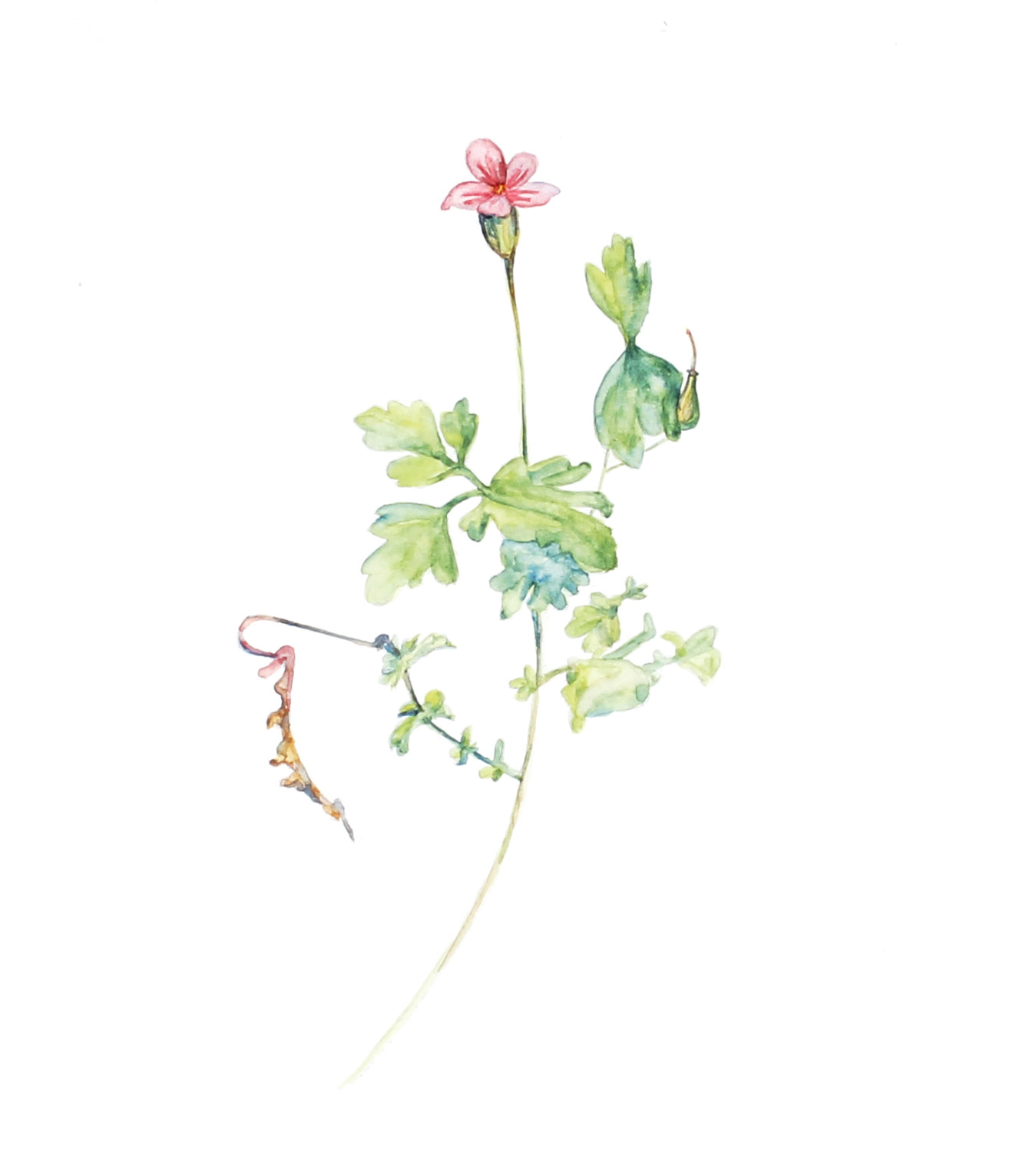 Geranium robertianum    Herb Robert