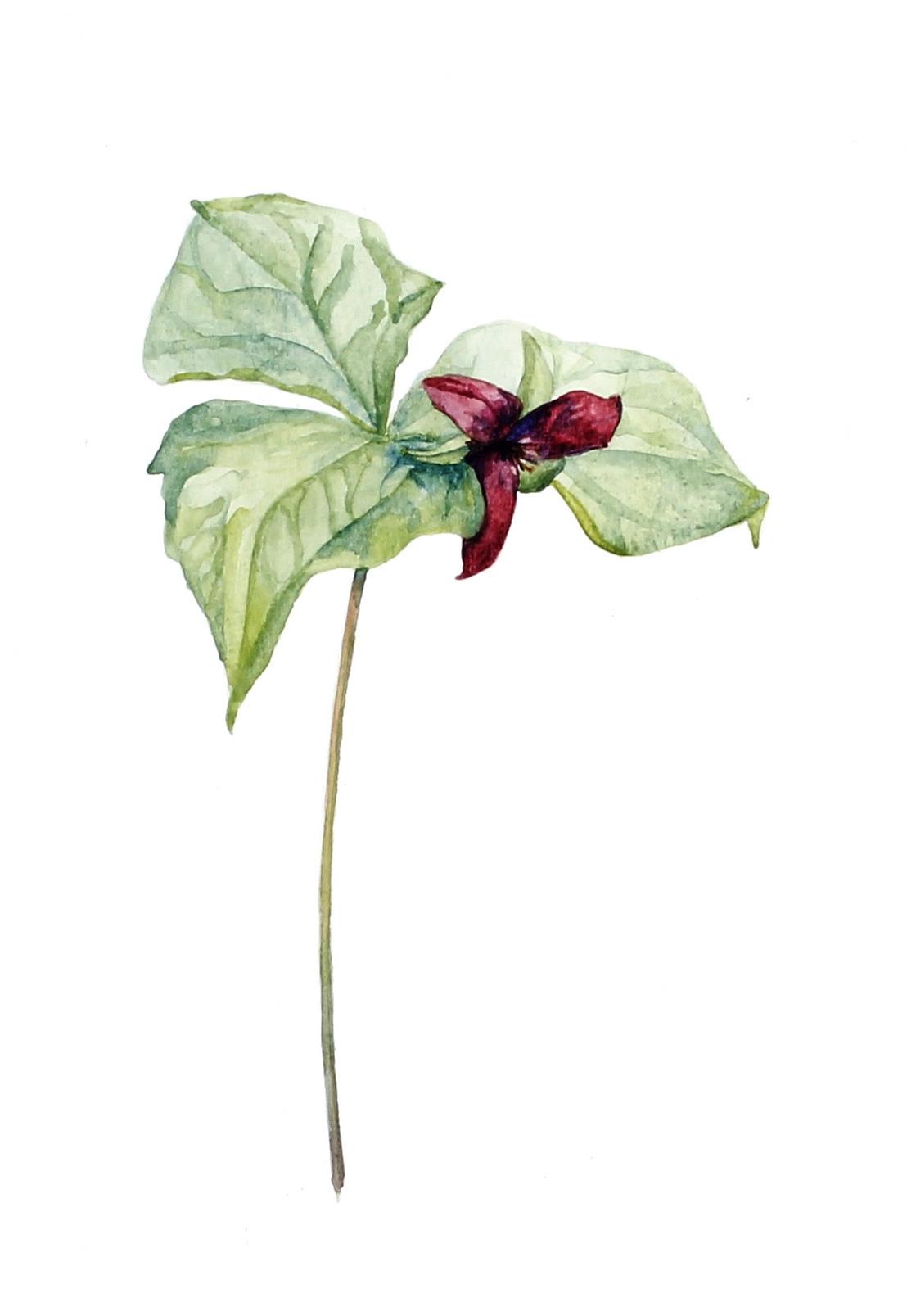Trillium erectum    Red Trillium