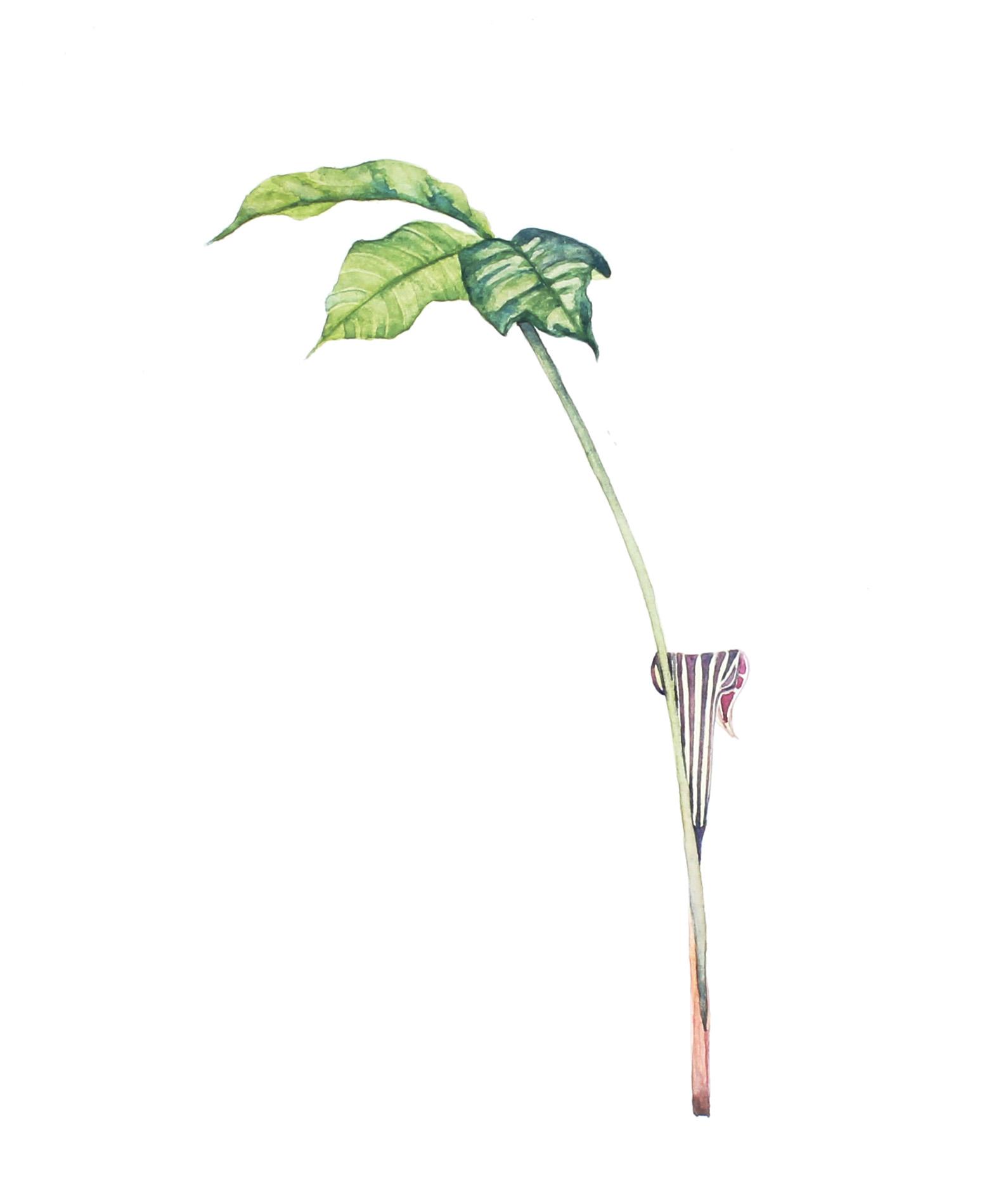 Arisaema triphyllum  | Jack-in-the-Pulpit