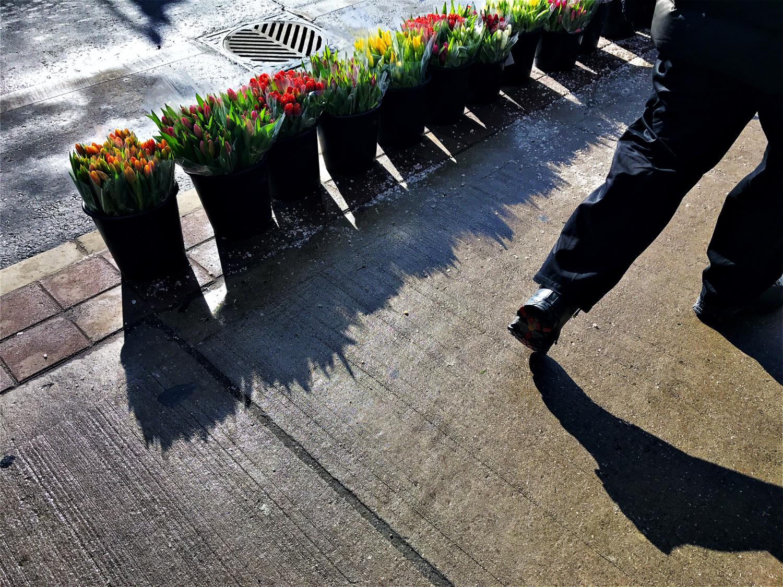 tulips on bloor st.jpg
