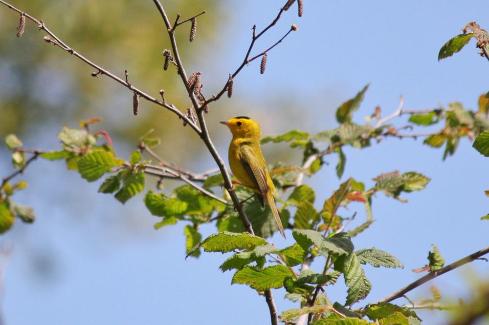 Wilson's Warbler - 4.27.19 - Woodpecker Trail.jpg