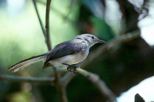Allpahuayo-Mishuna Reserve - Iquitos - Unknown Bird Species