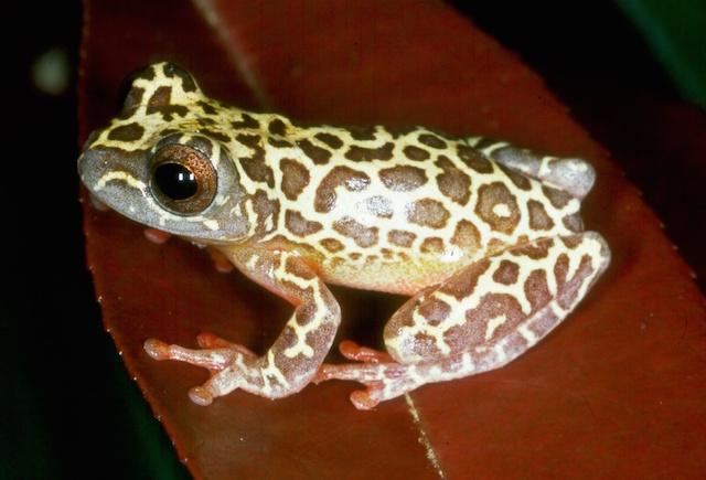 Amazon Rain Forest - Giraffe Tree Frog