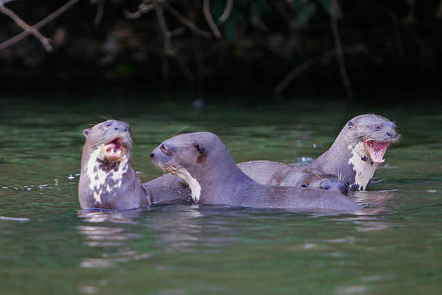 Amazon Rain Forest - Giant Otters