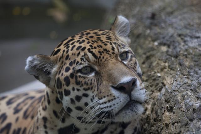 Sierra del Divisor - Jaguar