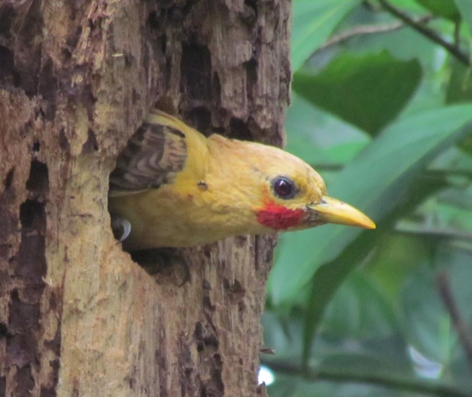 Cream Coloured Woodpecker - Peru North
