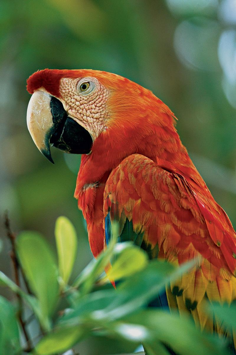 Pacaya-Samiria - Scarlet Macaw