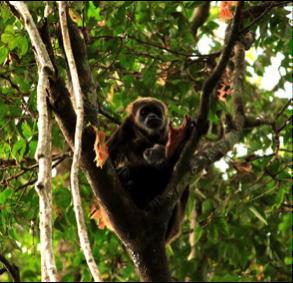 Southern Ecuador - Churute Mangrove Reserve - Howler Monkey.png