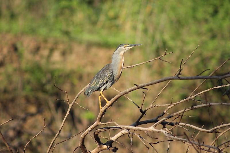 Walter x 3 - Sinchicuy Amazon Lodge - Grey Heron.jpg