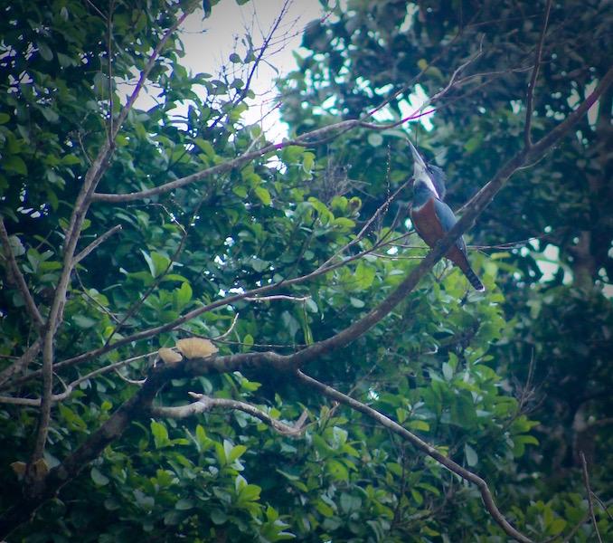 Walter x 3 - Sinchicuy Amazon Lodge - Kingfisher.jpg