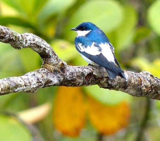 Northern Peru Birding Route - Blue Tit.jpeg