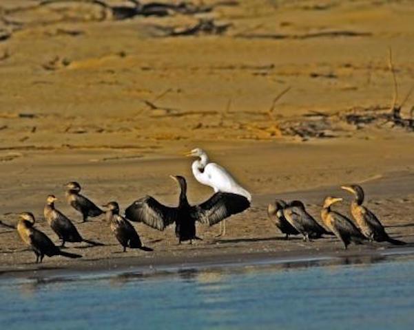 Northern Peru Birding Route - Egret & Anhingas.jpg