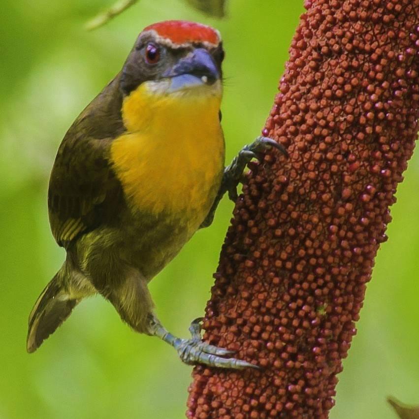 Northern Peru Birding Route - Scarlet-Crowned Barbet.jpg