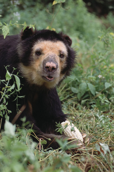 Chaparri Ecological Reserve - Rescued Spectacled Bear.jpg