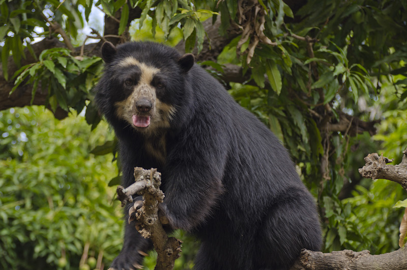 Chaparri Ecological Reserve - Spectacled Bear.jpg