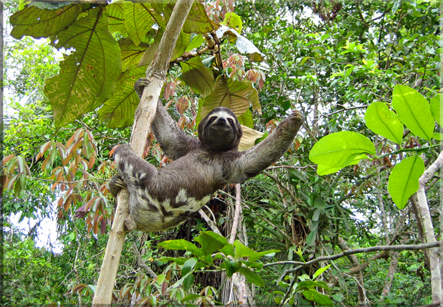 Iquitos - Pilpuntiwasi Butterfly Farm & Amazon Animal Orphanage - 3-Toed Sloth.jpg