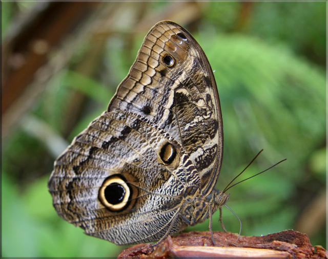 Iquitos - Pilpuntiwasi Butterfly Farm & Amazon Animal Orphanage - Owl Butterfly.jpg