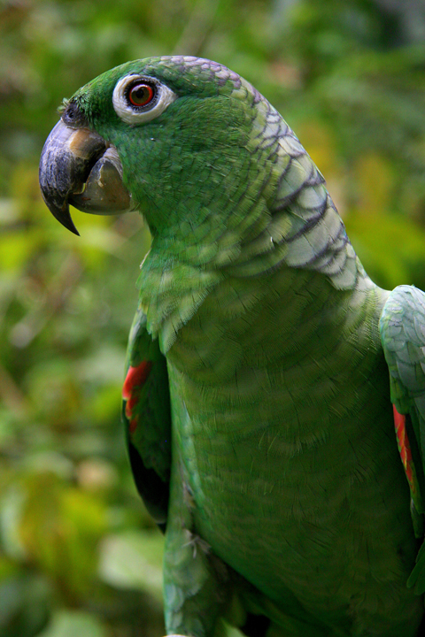 Iquitos - Pilpuntiwasi Butterfly Farm & Amazon Animal Orphanage - Parrot.jpg