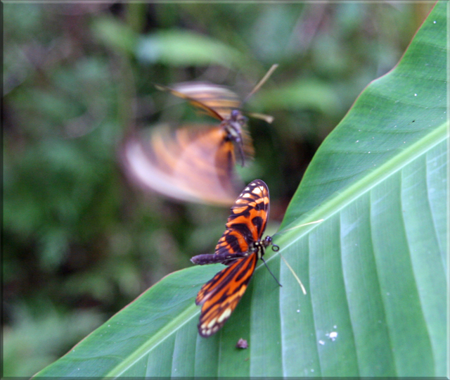 Iquitos - Pilpuntiwasi Butterfly Farm & Amazon Animal Orphanage - Tiger Butterflies.jpg