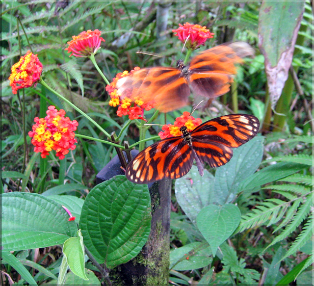 Iquitos - Pilpuntiwasi Butterfly Farm & Amazon Animal Orphanage - Tiger Butterflies on the wing.jpg
