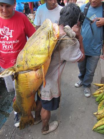 Iquitos, Loreto - Belen Market - Fish Delivery.JPG