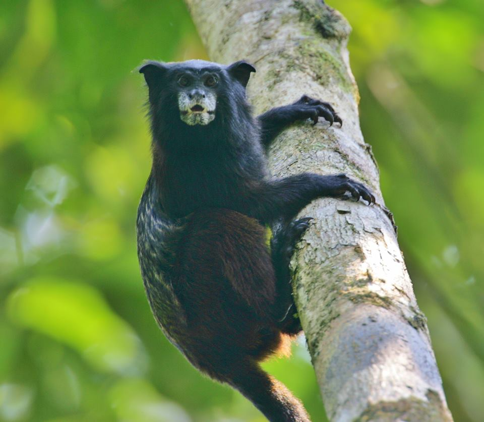 Amazon River Cruises - Saddle-Back Tamarin.jpg