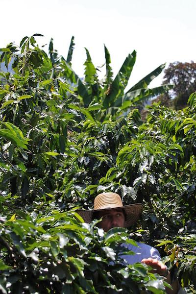 Colombian Highlights - Coffee Region - Coffee Plants.JPG