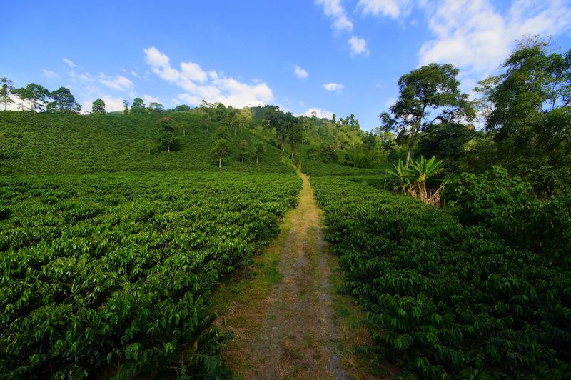 Colombian Highlights - Coffee Region - Plantation.jpg
