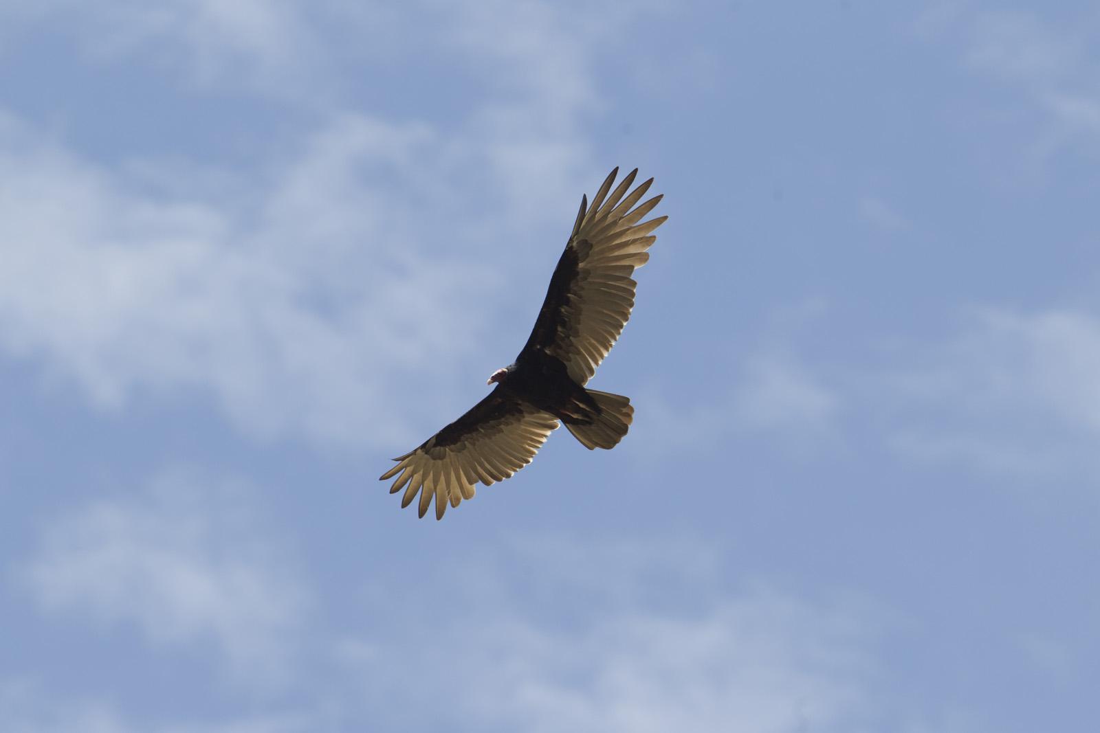 Laquipampa Wildlife Reserve - Turkey Vulture.jpg