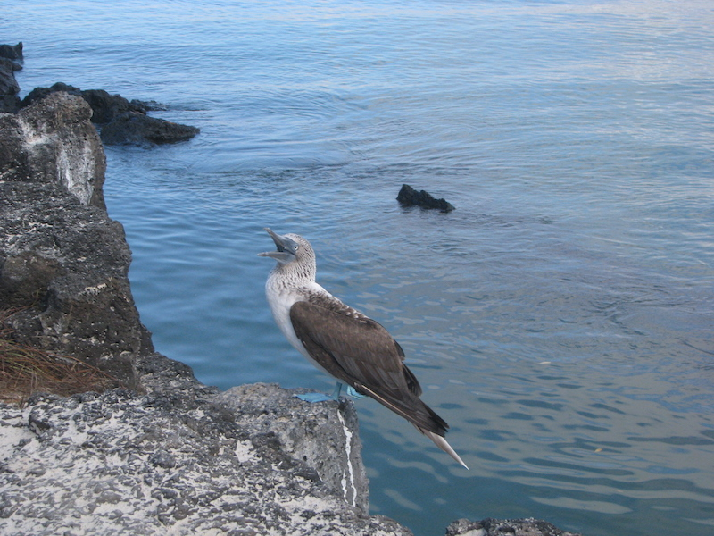 Galapagos Islands 5D - Blue-Footed Booby.jpg