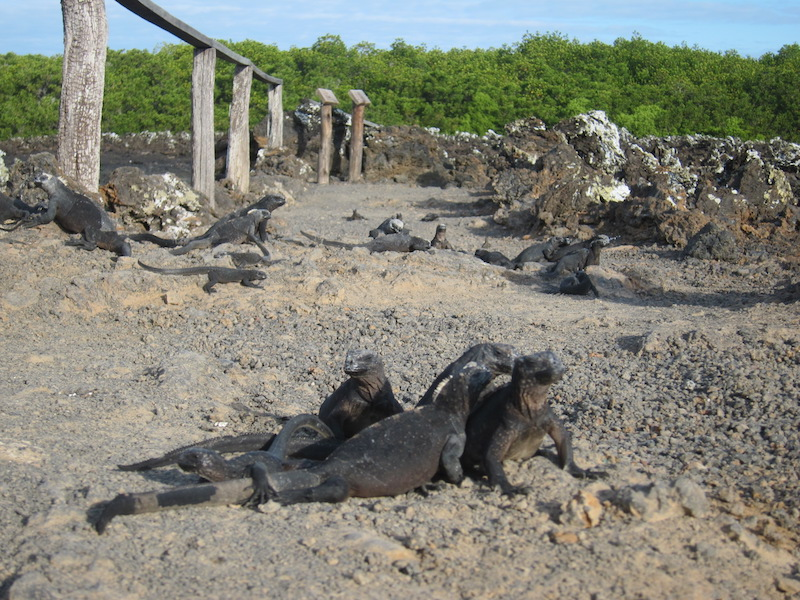 Galapagos Islands 5D - Many Iguanas on Volcanic Path.jpg