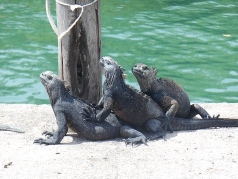 Galapagos Islands 5D - Iguanas Relaxing.jpg