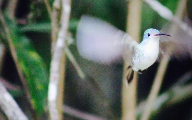 Tarapoto - Trujillo 9D  - Huembo Reserve Hummingbird 3.jpg