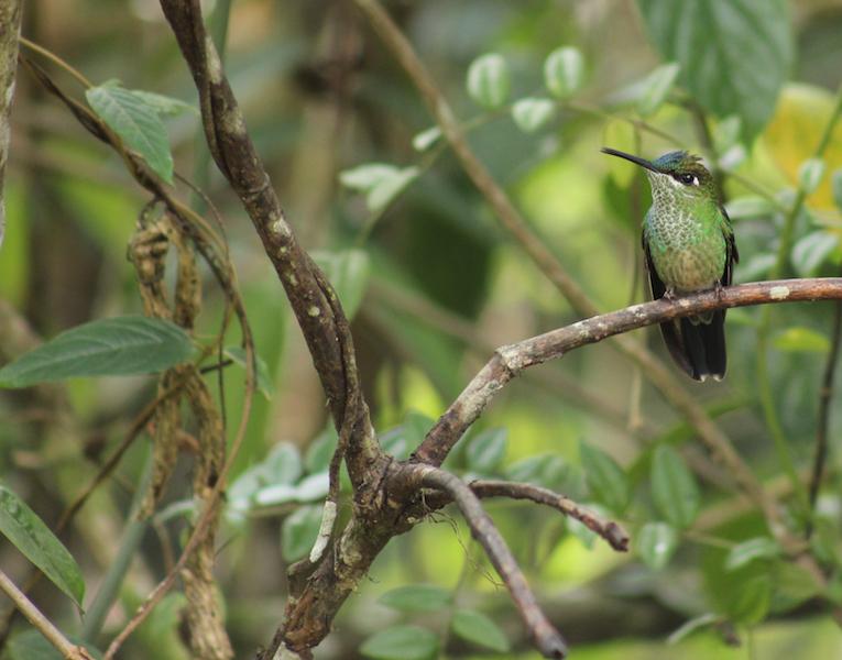 Tarapoto - Trujillo 9D - Huembo Reserve Hummingbird.jpg