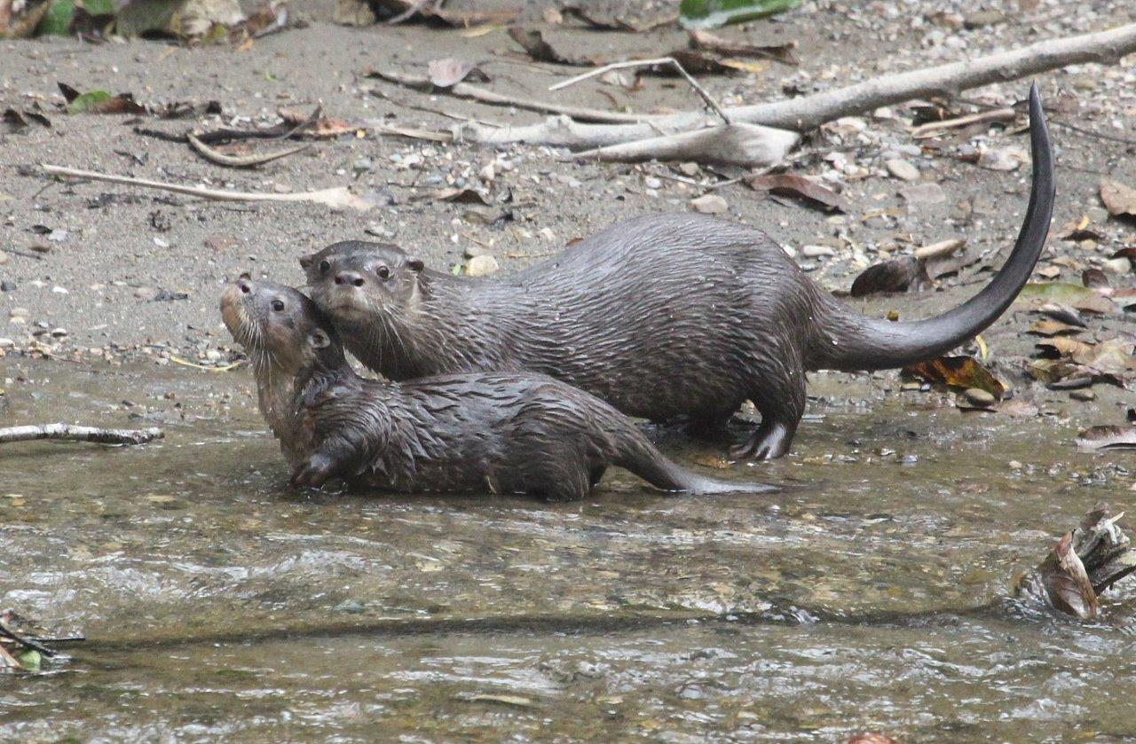 Neotropical River Otters.jpg
