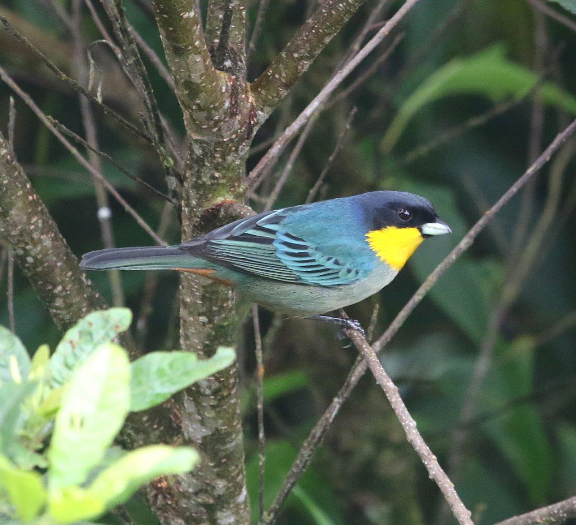 Yellow-throated Tanager.jpg