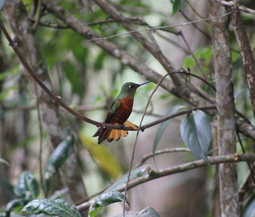 One of many species of hummingbird at Wakanki.