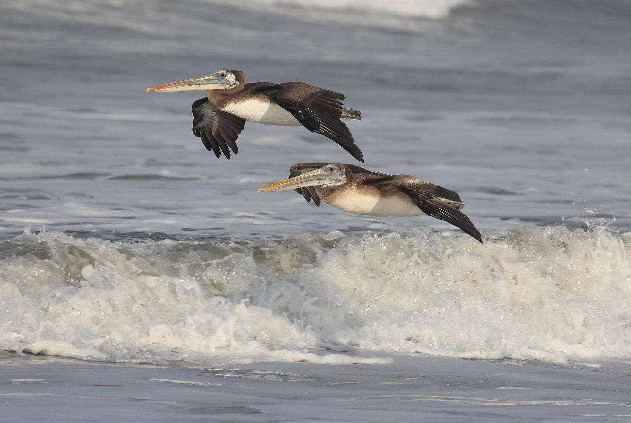 Chiclayo-Tarapoto Birding 15D - Peruvian Pelicans.jpg