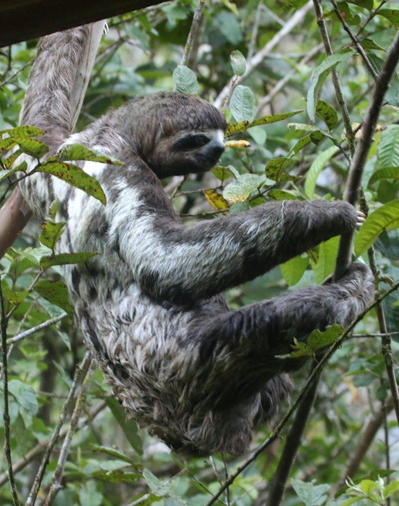 Three-toed sloth in the grounds of Pumarinri Amazon Lodge.