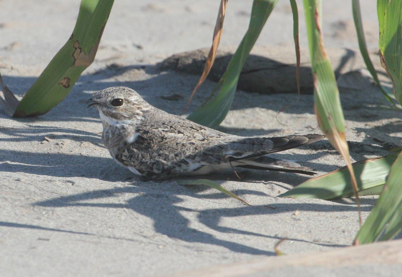 Sand-coloured Nighthawk.