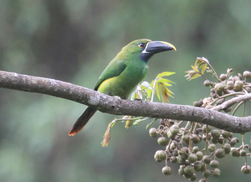 Emerald Toucanet on the path to Gocta Falls.