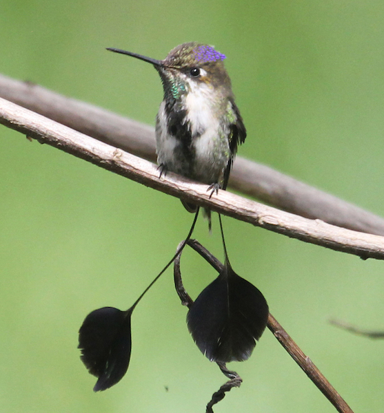 Marvellous Spatuletail Hummingbird at Huembo Reserve.