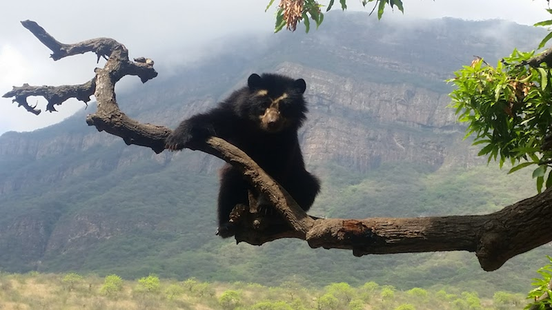 Andean Spectacled Bear at Chaparri Ecological Reserve.
